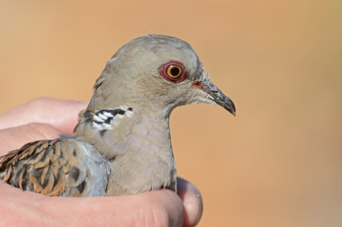 Hunters say over 100 million turtle doves worldwide