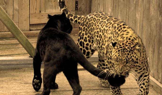 Leopards Mrs Bagheera and Mr Buddy, who were killed in the fire in Mtahleb