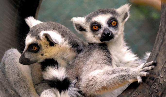 Two lemurs, also killed in the blaze