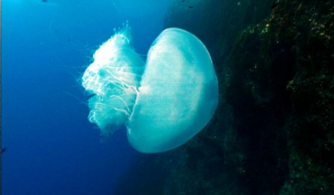 Nomadic Jellyfish