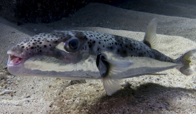 Silver-cheeked toadfish