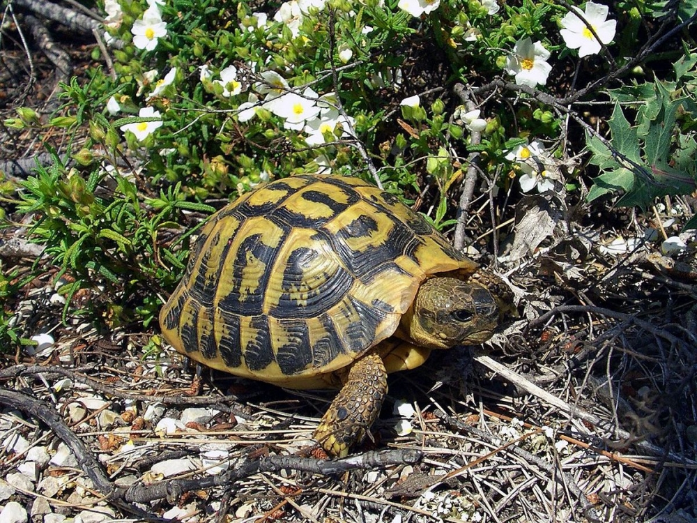 Three illegally imported Hermann's tortoises confiscated by customs