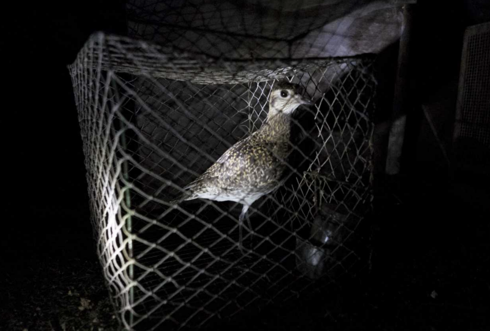 Bird trapping: CABS reports 45 cases of abuse, illegal sale of plovers on Maltapark