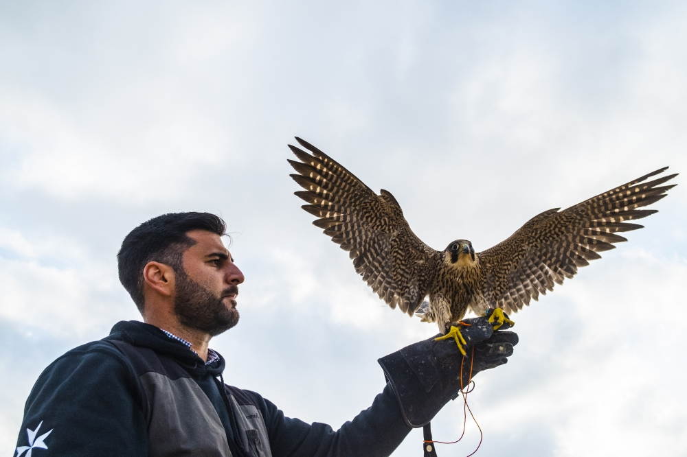 [IN PICTURES] Falconry in Malta: from king's tribute to ancient art revived