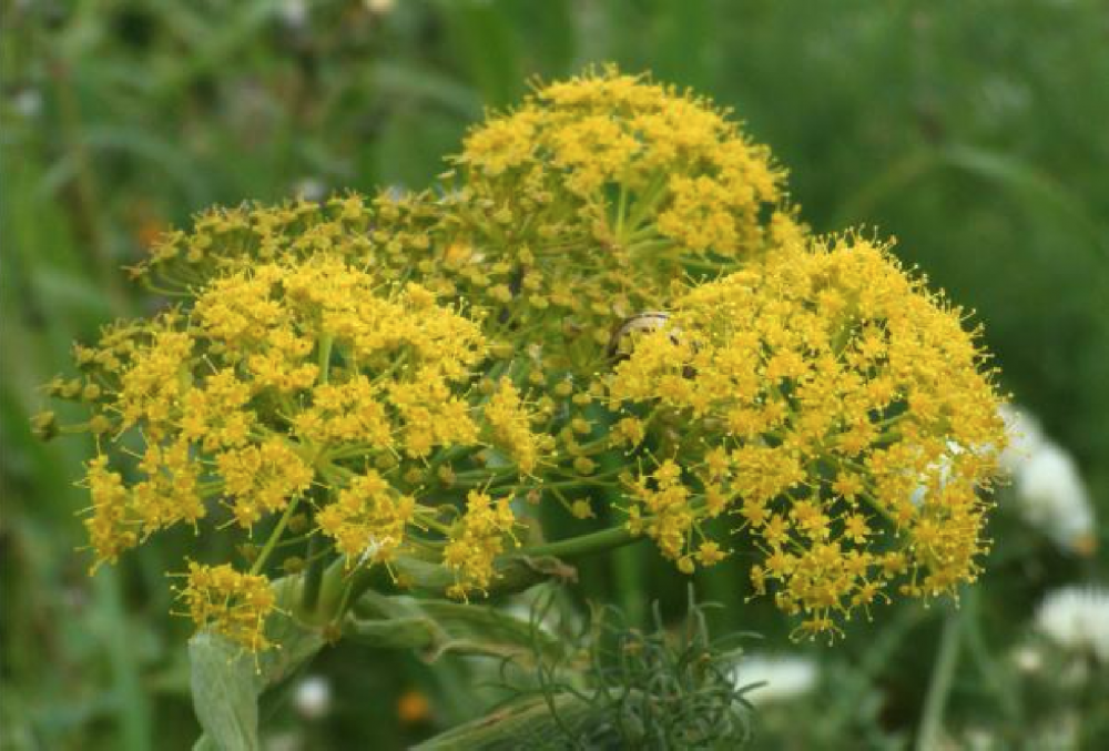 Maltese Ferule recognised as endemic species