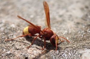 Invasion alert: aggressive Oriential hornet's spread in Malta is growing