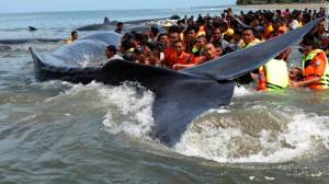 [WATCH] Four beached sperm whales die off coast of Indonesia