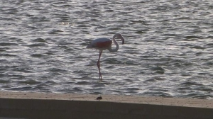 Police on guard as flamingo lands in Salina