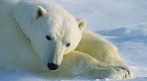 Polar bears failing to adapt to global warming