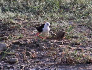 First ever Black-winged Stilt chicks hatch at Simar nature reserve