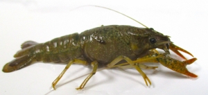 Alien crayfish found in Chadwick Lakes, research group laments of consequences