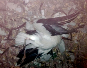 Shot White Stork was part of Italian reintroduction scheme