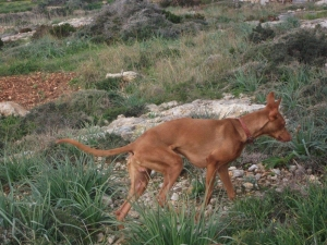 Genetic study aims to reduce inbreeding amongst Maltese hunting dogs