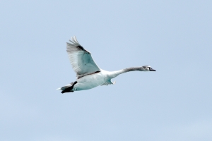 New swan spotted in St Thomas Bay, wing injured - BirdLife Malta