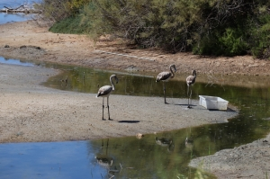 Two flamingos stolen from Għadira nature reserve