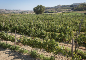 Rabat ODZ boutique winery gets outline permit