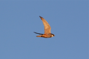 Watch out for Hobbies and Common Kestrels as autumn migration peaks