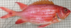Meet the longjaw squirrelfish: a new alien species discovered by Maltese biologists