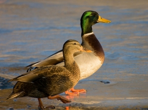 Ducks to be relocated to protect endangered species at il-Maghluq