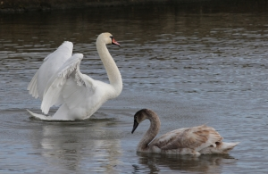 Mute swans believed to be observed in Gozo once again