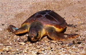 Two loggerhead turtles released after nine months of rehabilitation