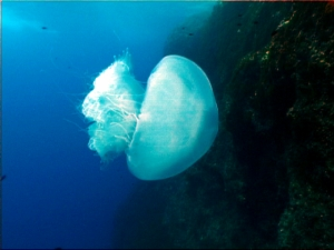 Nomadic jellyfish moving further west into the Mediterranean