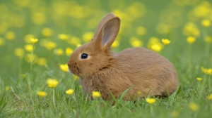 Breeders, pet owners urged against taking unvaccinated rabbits to l-Imnarja