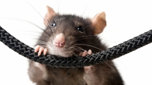 Rat infestation at BOV Preluna Towers branch