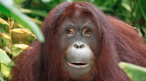 Online dating for primates? Zoo to have orangutan choose mate on tablet