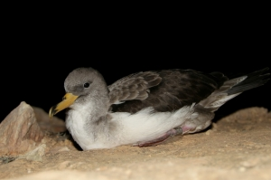 High number of Scopoli's Shearwaters stranded on land