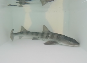 [WATCH] Nine sharks join the Malta National Aquarium