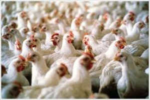 Local council, environmental lobbyists object against Siggiewi chicken farm