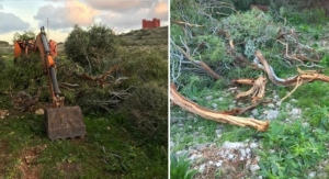 Hunting organisation removing invasive trees at l-Aħrax as part of regeneration project