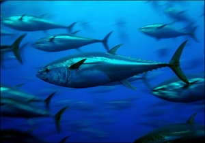 WWF says bluefin tuna quota increase 'too much too soon'