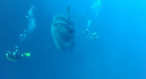 Huge Mola Mola filmed off Gozo's coast