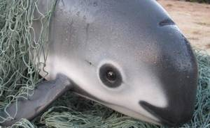 Endangered porpoise dies after rescue efforts in Mexico