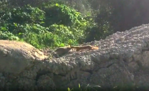 [WATCH] Maltese weasel taking home rat in vicious battle is the nature find of the year