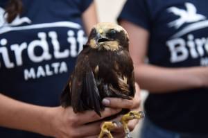 [WATCH] Four protected birds found injured, two confirmed shot