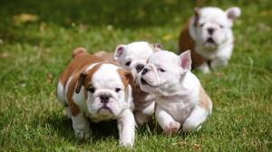 UK pet shops face puppy sale ban to protect dogs