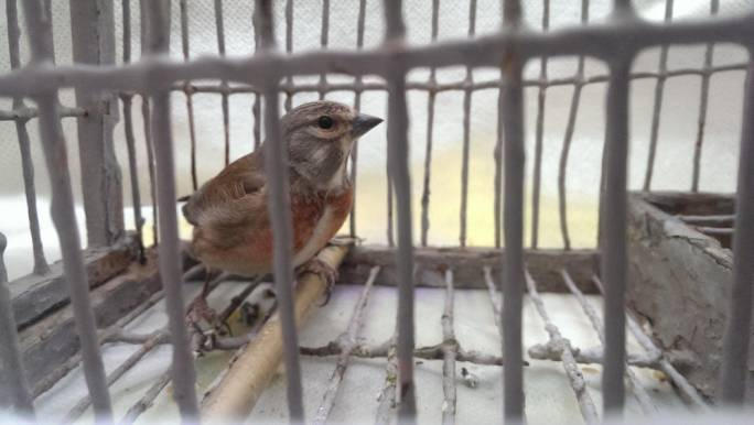 Under threat of EU court censure, Malta reopens bird trapping season