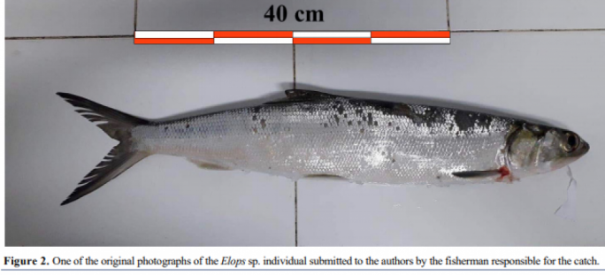 While the capture of a single Elops in the Mediterranean might represent a vagrant adult, its occurrence suggests it could potentially survive in these waters