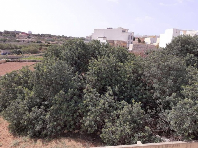 ERA gives go-ahead for uprooting of Dingli carob trees, Graffitti hits out