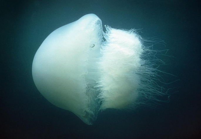 Lethal to the touch: the dreaded nomadic jellyfish