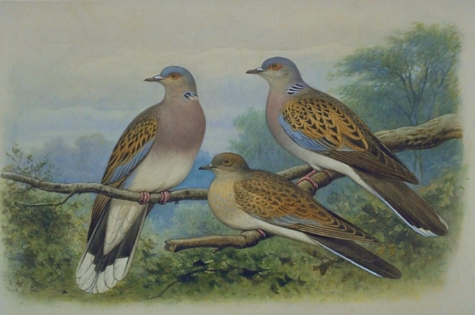 Vulnerable turtle dove population now risking more than ever of becoming just an image of the past
