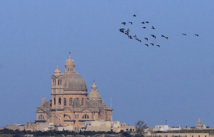 A flock of Ferruginous Ducks over Gozo (Photo: Ray Galea)