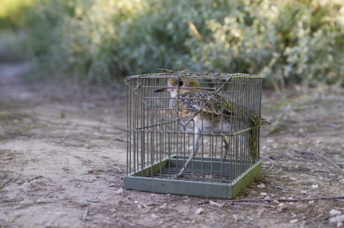The quota of 700 Golden Plovers allocated for this year's trapping season has not yet been reached
