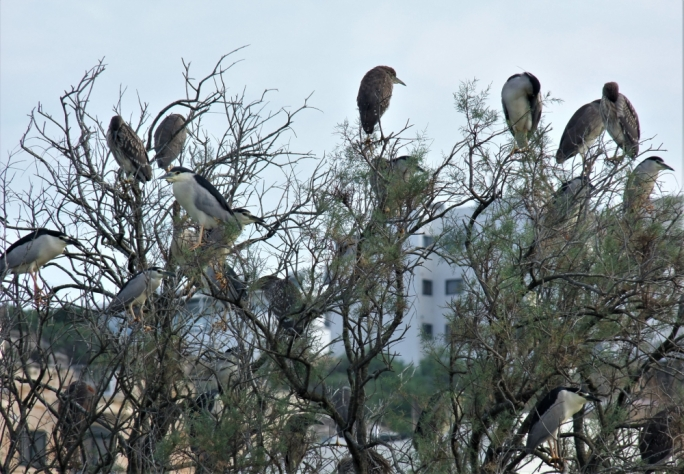 [WATCH] Largest ever flock of Night Herons rests at Simar Nature Reserve