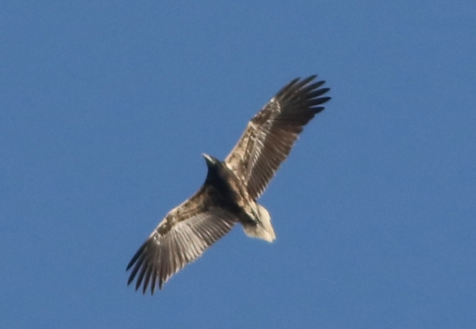 [WATCH] Egyptian vulture spends the night in Malta