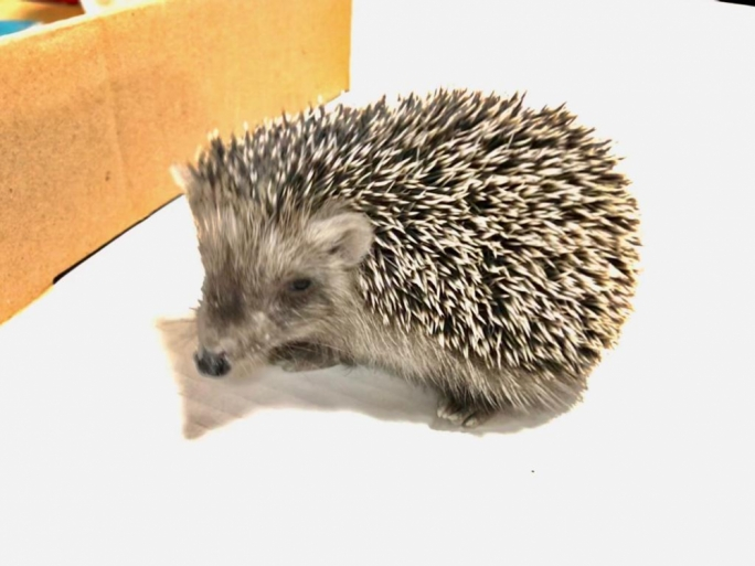 [WATCH] Female hedgehog rescued by MaltaToday