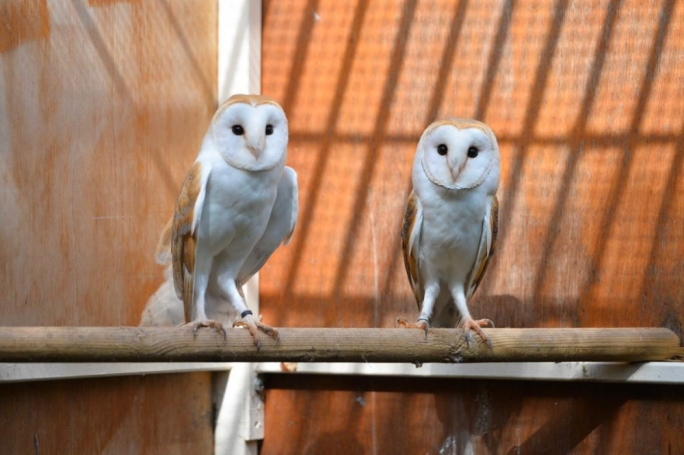 The FKNK project aims to breed barn owls and reintroduce them into the wild at Buskett